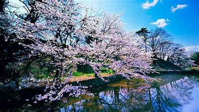 Blossom Cherry Trees Wallpapers 1920 1080 1366