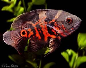 Oscar Fish for Sale - AquariumFish.net