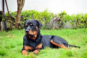 Rottweiler Pictures Gallery - View amazing pictures ...