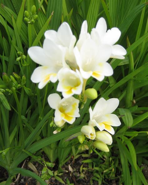 Marcelle Nankervis Top 10 Fragrant Plants For Spring