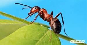 Hausmittel Gegen Mücken In Der Wohnung : ameisen vertreiben ohne gift 10 nat rliche hausmittel ~ A.2002-acura-tl-radio.info Haus und Dekorationen