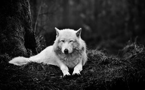 Black And White Wolf 3 Cool Hd Wallpaper
