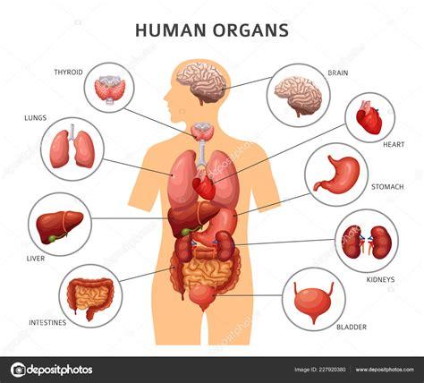 Organ Diagram by Organs Human Organs Stomach