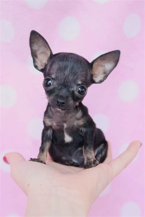 tiny teacup chihuahua puppies  sale  south florida