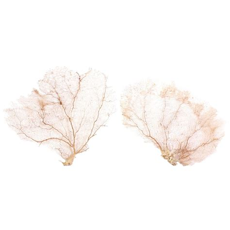 sea fans for sale large pair of natural organic cream sea fans for sale at