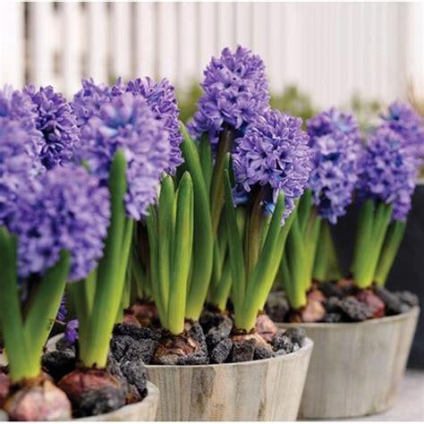 el jacinto flor de la constancia