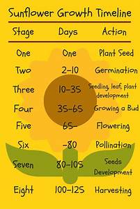 Sunflower Growth Timeline And Life Cycle