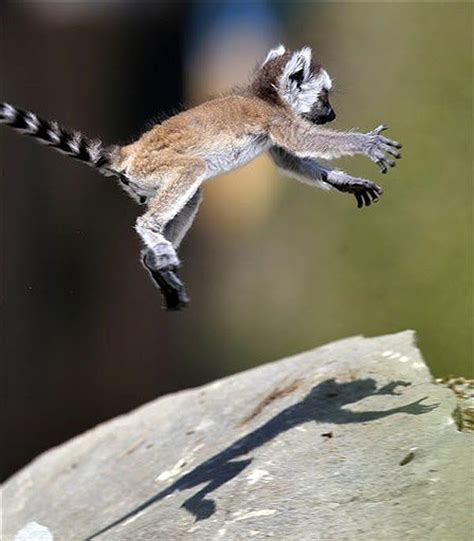 lemur lemurs madagascar baby animals happy loris nature king wild julians cutest animal