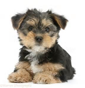 Dog Yorkie Puppies