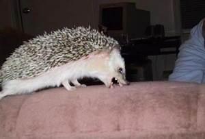 Hedgehog Care | Baby Hedgehogs | Hedgehog Pictures