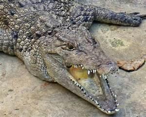 Crocodile Life Cycle Facts
