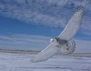 Snowy Owl Flying | www.imgkid.com - The Image Kid Has It!
