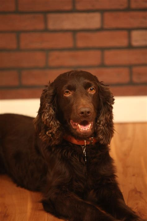 got boykin furry family pinterest boykin spaniel