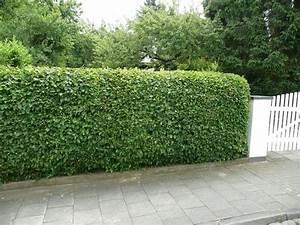 Darf Nachbar Meine Hecke Schneiden : hainbuche hecke heckenpflanzen kaufen carpinus betulus ~ Lizthompson.info Haus und Dekorationen