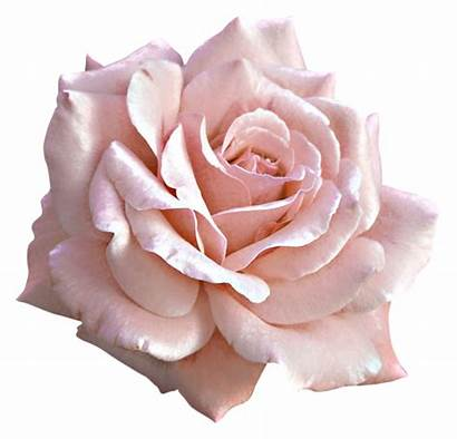 Clipart Flower Rose Illustrations Prints Blush