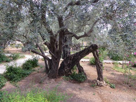 garden of gethsemane the garden of gethsemane pilgrim pat