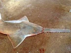 Critically Endangered Fish