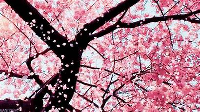 Blossom Cherry Giphy Gifs