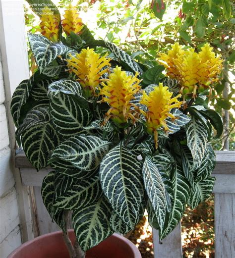 plantfiles pictures aphelandra species zebra plant