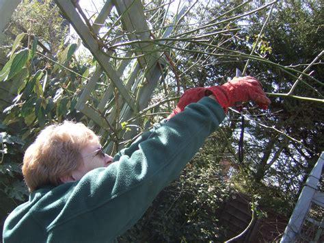 climbing pruning roses gardening and dogs