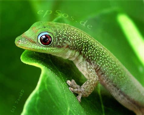 gecko lizard geckos and lizards are our best friends epsos de