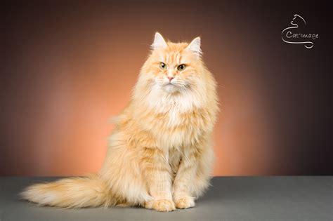combien de portee par an pour un chat chats castr 233 s chat sib 233 rien