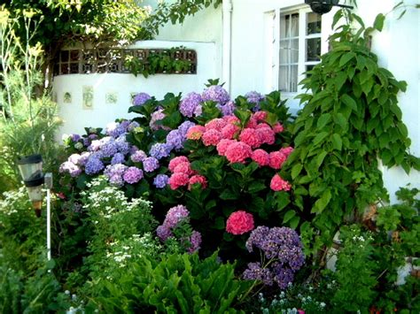 how to hydrangeas learn how to change the color of your hydrangeas garden pics and tips