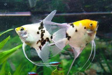 demarrer  aquarium  choix des poissons  eau chaude