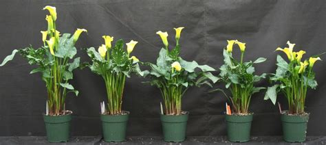 calla lily height control  media drenches greenhouse