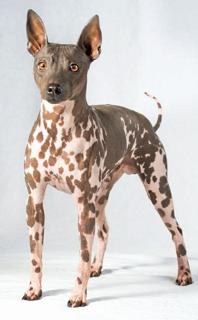 american hairless terrier dogs rare breeds dogs