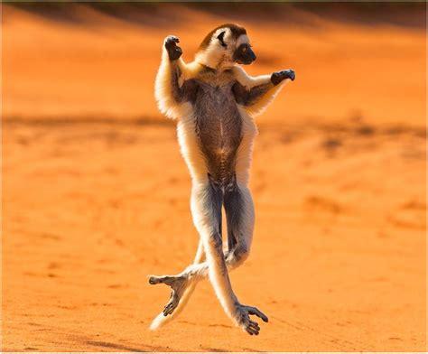 dancing madagascar   desert funny faxo