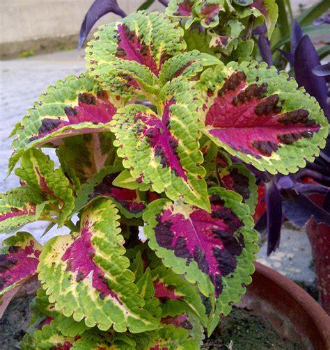 coleus plants coleus wikipedia