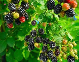 Blackberry Planting Directions  U2013 Learn How To Grow