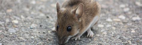 mäuse vertreiben geruch m 195 164 usebek 195 164 mpfung in m 195 188 nchen augsburg preventa
