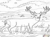Deer Coloring Buck Mule Caribou Colorings Printable Getdrawings Getcolorings sketch template
