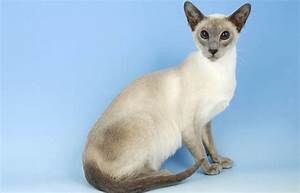 best selling cat breeds america famous beautiful amazing cheapest expensive top 10 popular list