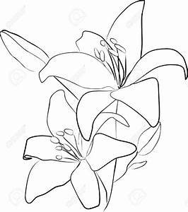 Lily Flower Black And White Drawing | www.pixshark.com ...