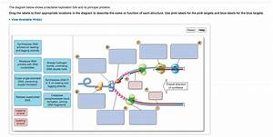 The Diagram Below Shows A Bacterial Replication Fork And