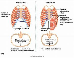 Yr 8 Topic 3 Gas Exchange System And Respiration
