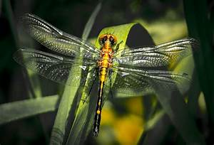 Dragonfly Pictures - FREE Dragonfly pictures!
