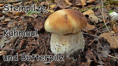 steinpilze kuhmaul und butterpilz pilze sammeln  der