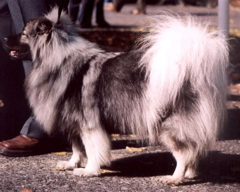 Deutscher Spitz Wikimedia Commons