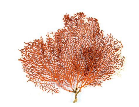 red gorgonian  red sea fan coral isolated  white