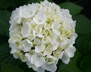 Hydrangea Macrophylla Winterhart : hydrangea macrophylla 39 bridal bouquet 39 maryflower ~ Michelbontemps.com Haus und Dekorationen