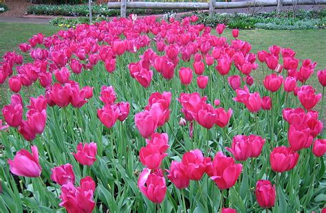plants that grow back every year do tulips come back every year proflowers blog