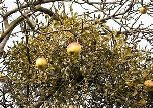 Blattläuse Gurken Bekämpfen : alte apfelsorten exkursion 39 3 alte apfelsorten kleine ~ Lizthompson.info Haus und Dekorationen