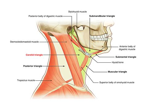 Superficial Neck Anatomy Nerves