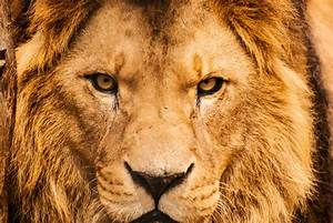 Trophy hunting of lions can conserve the species, report ...