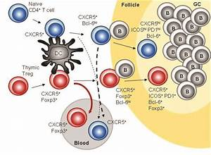New Type Of Blood Cells Work As Indicators Of Autoimmunity