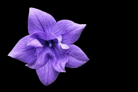 Fiore Flowers by Free Photo Balloon Flower Violet Blossom Free Image